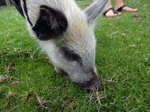 The Toffee Piglet, Wilbur