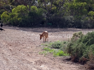 Dingo in the wild!